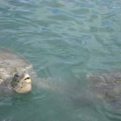 Tortues aux Iles Caymans