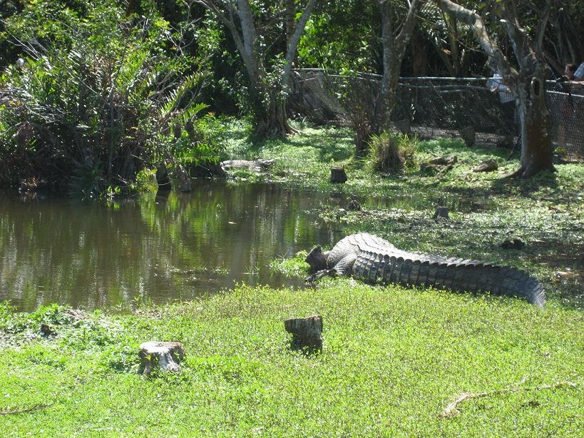 Miam Miam  alligators aux Everglades